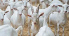 caprițe la Elcomex Agroindustrial